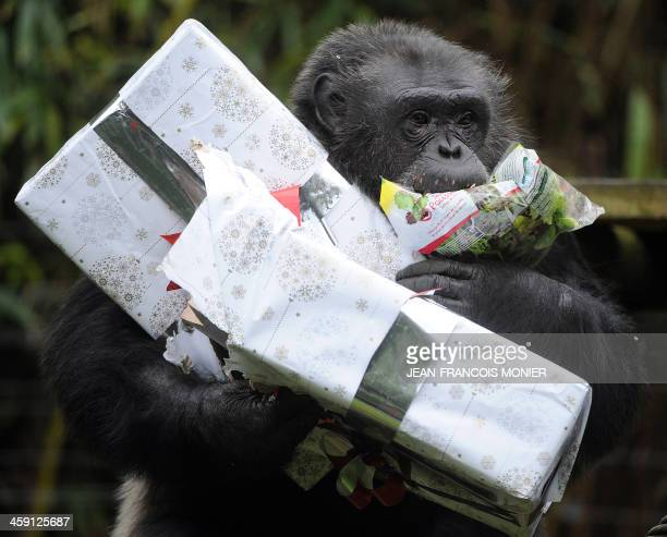 A chimpanzee opens a package filled with treats and wrapped as a Christmas gift at the zoo in La Fleche western France on December 23 2013 AFP PHOTO...