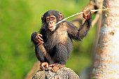 Chimpanzee (Pan troglodytes troglodytes)