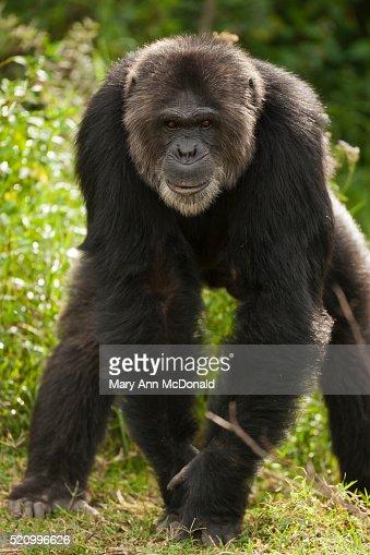 K Chenpantry chimpanzee foto stock getty images
