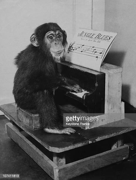 Chimpanzee Playing The Piano In New York On November 1932