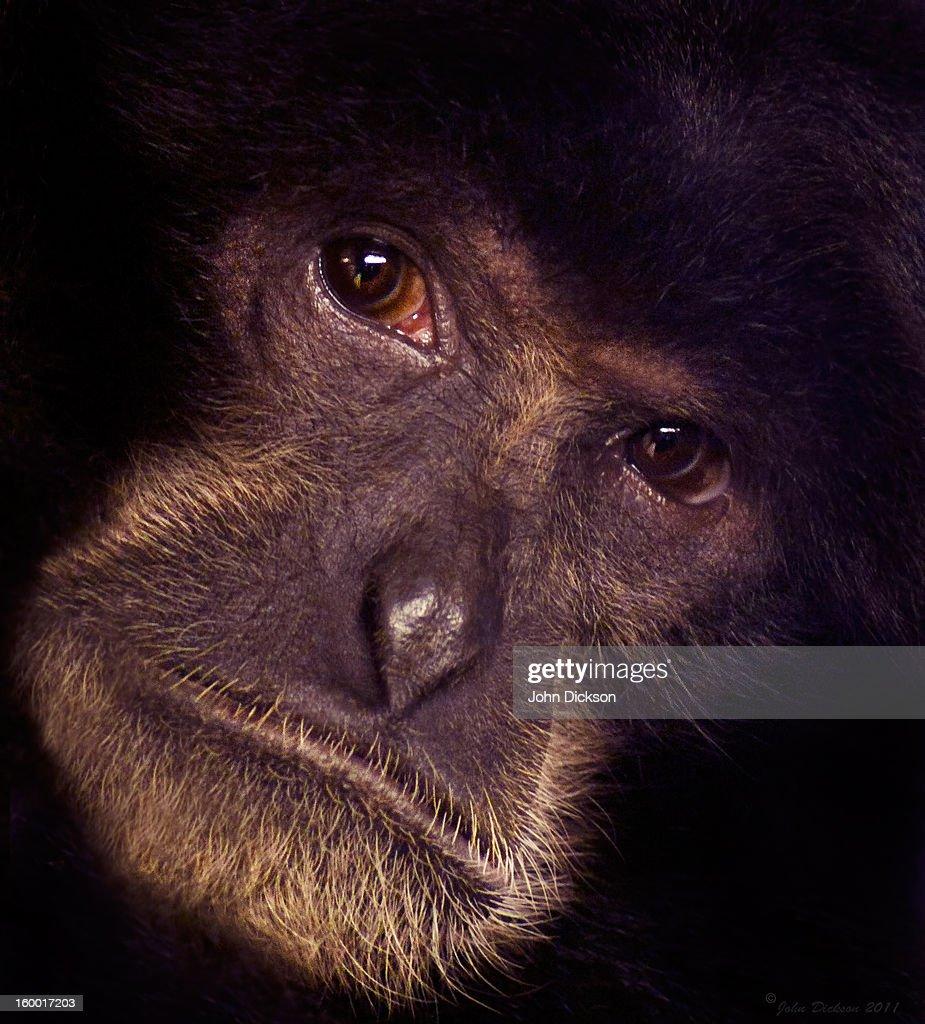 Chimpanzee Portrait : Stock Photo
