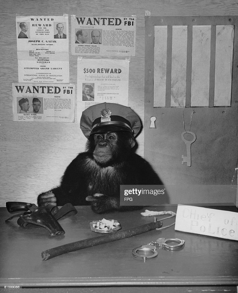 A chimpanzee poses as a chief of police, 1946.