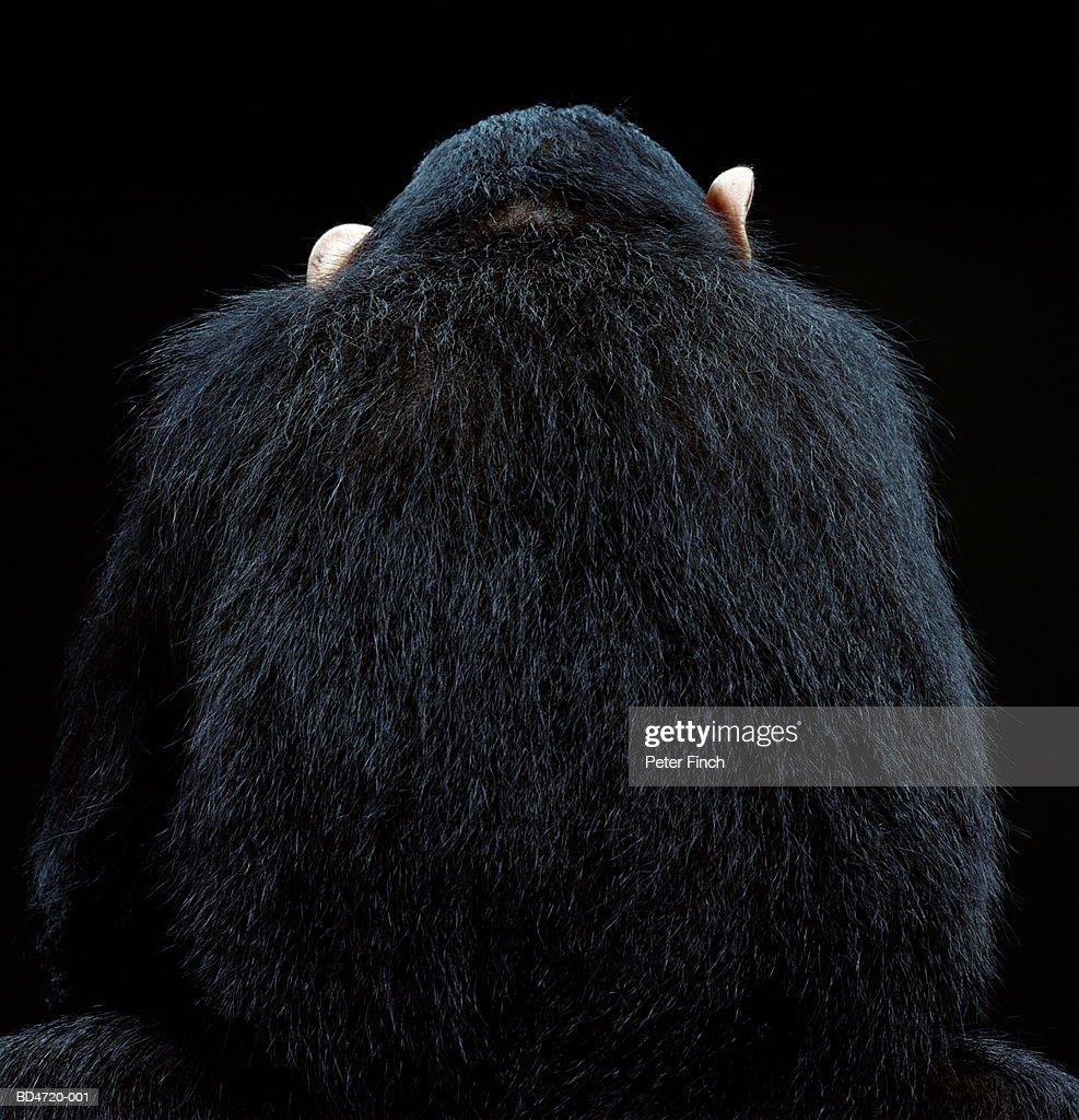 Chimpanzee (Pan troglodytes), rear view, close-up : Stock Photo