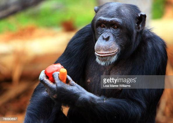 A chimpanzee receives a Christmas treat at Taronga Zoo on December 20 2007 in Sydney AustraliaTaronga Zoo celebrated Christmas early giving treats to...