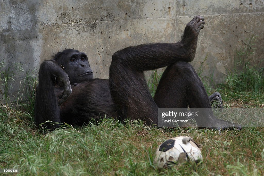 A chimpanzee relaxes in the shade at the Safari Park as the popular attraction prepares for the upcoming Jewish festival of Pesach (Passover) on April 14, 2008 in Ramat Gan near Tel Aviv, Israel. The week-long festival which begins on April 19 commemorates the flight of the ancient Hebrews from Egypt as described in the book of Exodus, when, according to the biblical account, the Jews did not have time to prepare leavened bread before fleeing the land of the Pharaohs.