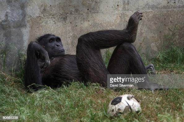 A chimpanzee relaxes in the shade at the Safari Park as the popular attraction prepares for the upcoming Jewish festival of Pesach on April 14 2008...