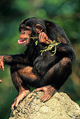 Chimpanzee (Pan troglodytes) sitting on stone, chewing twig, close-up