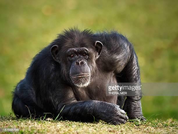 Scimpanzé ammirando telecamera