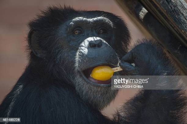 A chimpanzee tastes an ice cream bar received from a zookeeper to help endure the intense summer heat at the Zoo in Rio de Janeiro Brazil on January...