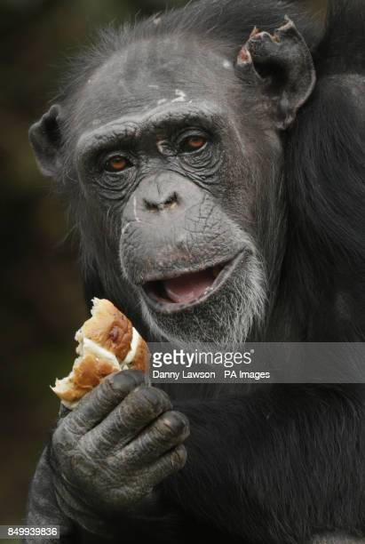 A Chimpanzee with a hot cross bun at Blair Drummond Safari Park in Stirling PRESS ASSOCIATION Photo Picture date Friday March 29 2013 Easter has come...