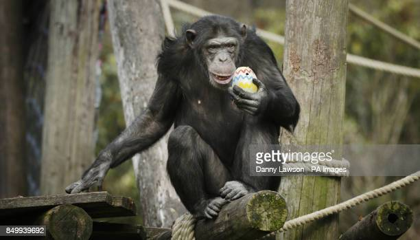 A Chimpanzee with an Easter egg at Blair Drummond Safari Park in Stirling PRESS ASSOCIATION Photo Picture date Friday March 29 2013 Easter has come a...