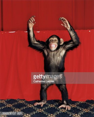 Chimpanzee (Pan troglodytes) with arms raised, indoors