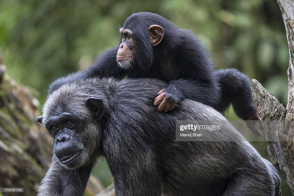 Chimpanzee youngster on mother's back : Stock Photo