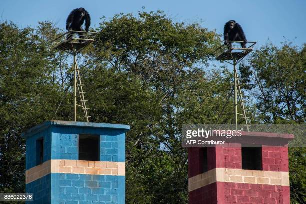 Chimpanzees are seen at the Great Apes Project a sanctuary for apes in Sorocaba some 100km west of Sao Paulo Brazil on July 28 2017 / AFP PHOTO /...