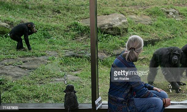 Chimpanzees feed behind a glass screen as primatologist Dr Jane Goodall looks on at Taronga Zoo July 14 2006 in Sydney Australia Dr Goodall visited...