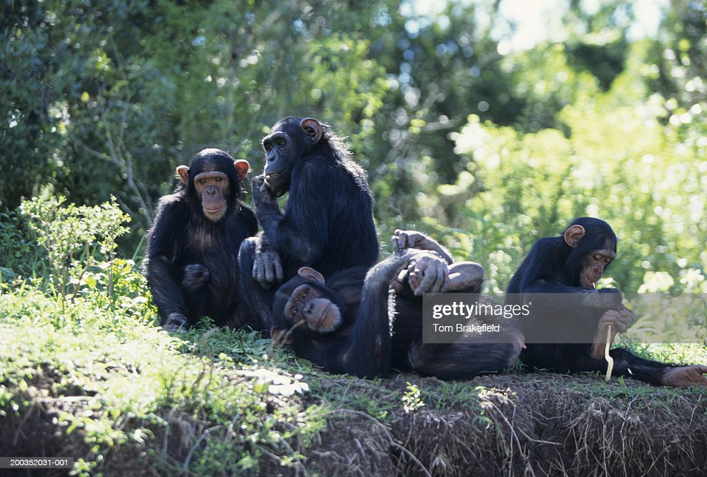 Chimpanzees (Pan troglodytes) : Stock Photo