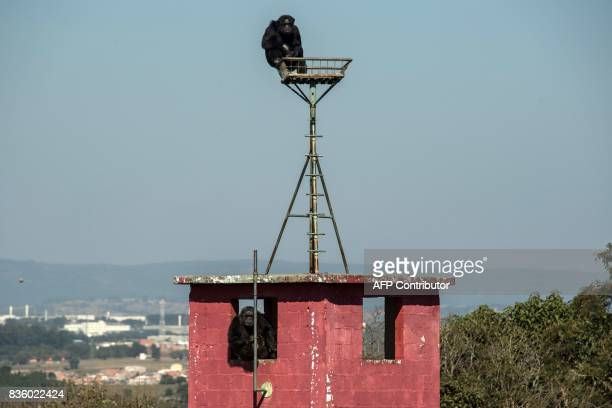 Chimpanzees remain at the Great Apes Project a sanctuary for apes in Sorocaba some 100km west of Sao Paulo Brazil on July 28 2017 / AFP PHOTO /...
