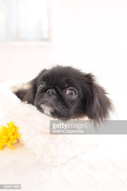Chin Pekinese mix