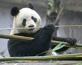 YAAN China Female giant panda Xiannu eats bamboo at a facility in Yaan in China's Sichuan Province on Feb 20 ahead of arriving at Ueno Zoo in Tokyo...