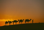 China Gansu Dunhuang Camel train on ridge of sand dune at sunset in the desert on the Silk Route