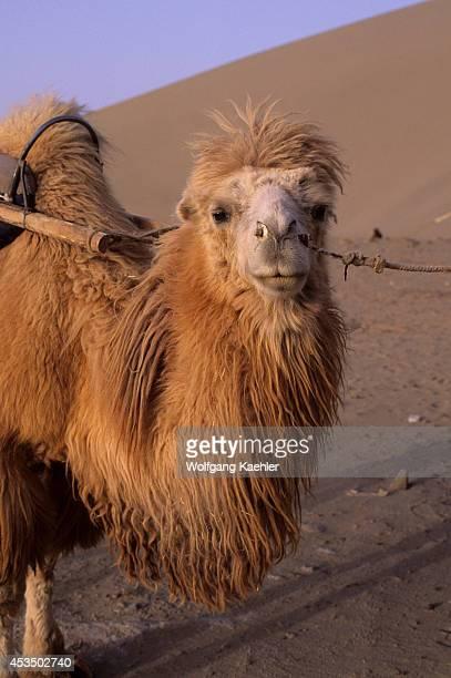 China Gansu Province Dunhuang Bactrian Camel