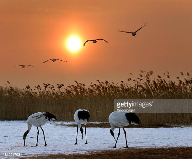 China Heilongjiang Zhalong, a group of red-crowned cranes