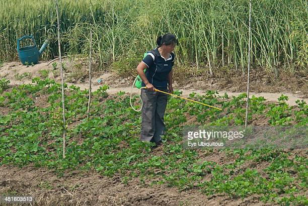 China Jiangsu Qidong Woman farmer with a backpack sprayer applying pesticide on vegetables being grown on the bank of a polluted canal Rapeseed and...