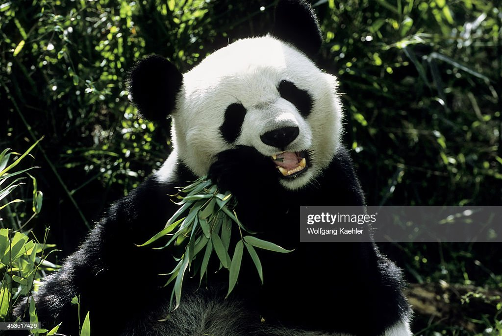 China Sichuan Province Wolong Panda Reserve Giant Panda Closeup Feeding On Bamboo