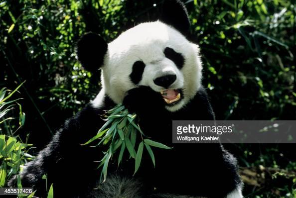 China Sichuan Province Wolong Panda Reserve Giant Panda Closeup Feeding On Bamboo