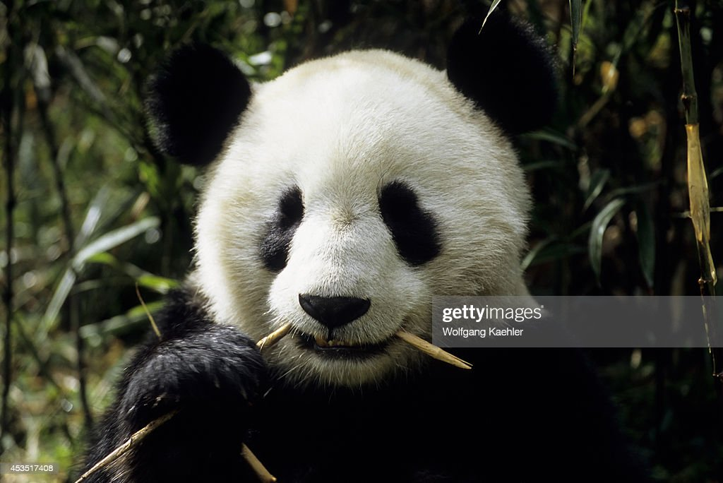 China Sichuan Province Wolong Panda Reserve Giant Panda Feeding On Bamboo Closeup