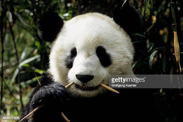 China Sichuan Province Wolong Panda Reserve Giant Panda Feeding On Bamboo Closeup