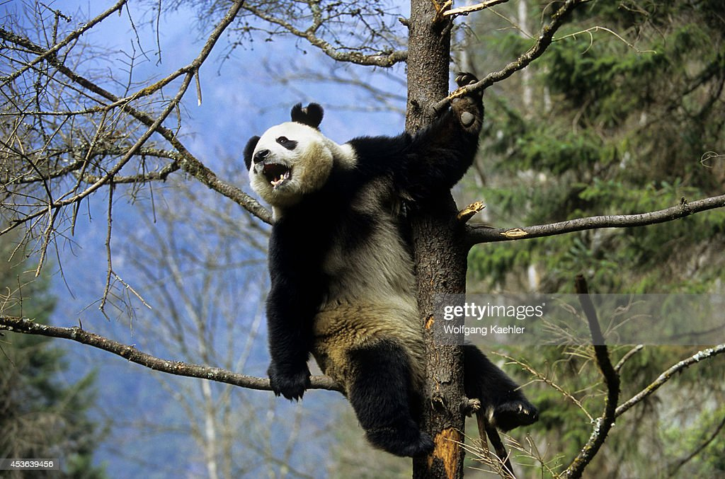 China Sichuan Province Wolong Panda Reserve Giant Panda In Tree