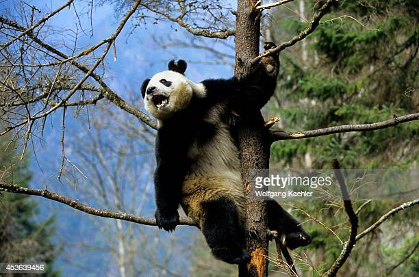 China Sichuan Province Wolong Panda Reserve Giant Panda In Tree