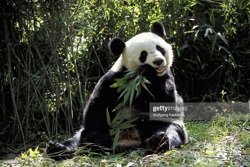 China Sichuan Province Wolong Panda Reserve Giant Panda Sitting Feeding On Bamboo