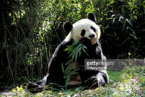 China Sichuan Province Wolong Panda Reserve Giant Panda Sitting Feeding On Bamboo