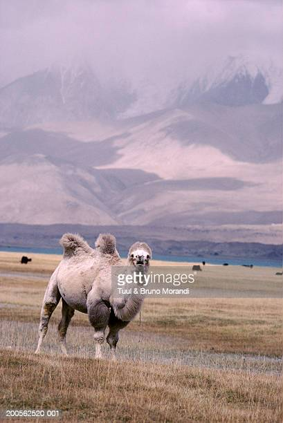 China, Sinkiang, Bactriane camel in field in front of Pamir mountain