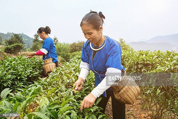 China Tea Frauen ernten Cheng Yang Sanjiang Landwirtschaft Teagarden China