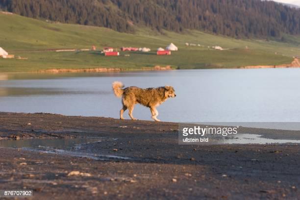 China Xinjiang Sayrim Lake Wilder Hund am Ufer des Sayrim Sees wild dog at the lakefront Sayrim Lake Photo by Brigitte Hissullstein bild via Getty...
