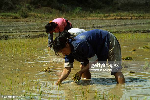 China Yunnan Province Farmers Planting Rice