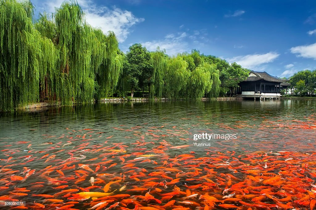 China zhouzhuang pool full of koi fish by monastery stock for Pool of koi