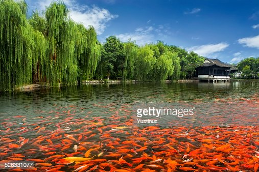 Freshwater fish stock photos and pictures getty images for Koi spawning pool