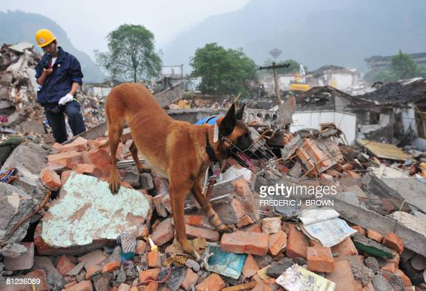 ChinaquakeNetherlandsanimaldogs by Ian Timberlake Search dog 'Finder' takes to the rubble with a bandaged paw from an injury the previous day during...