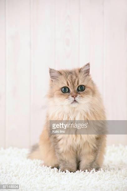 Chinchilla cat looking at camera
