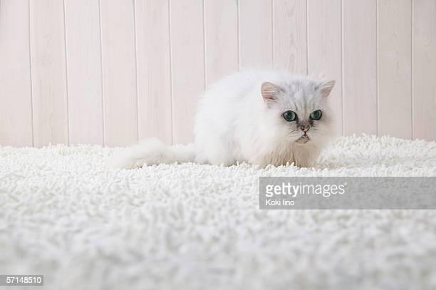 Chinchilla cat lying down