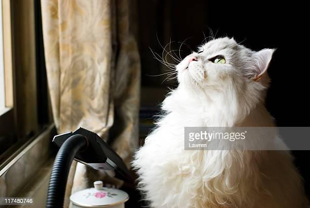 Chinchilla cat sits down near window