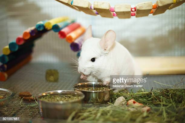 Chinchilla eating in colorful cage