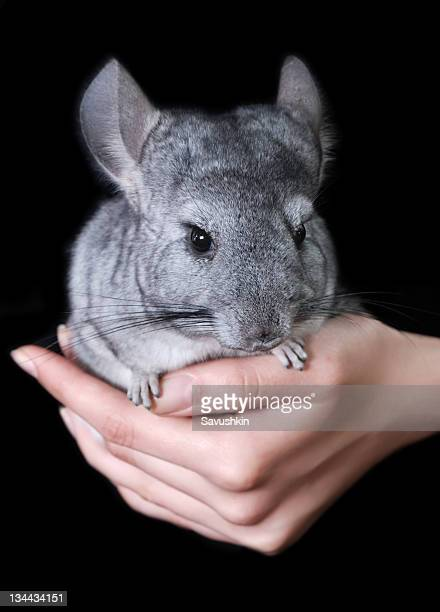 chinchilla singles An adequate size cage for a single chinchilla is 3 feet by 2 feet of course, the bigger the cage, the more room they have to run and play, .
