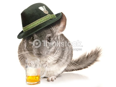 Chinchilla Wearing Beer Festival Hat With Pint Stock Photo  e11a09d86a0