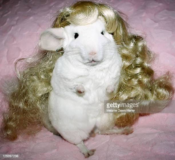 Chinchilla with blonde doll wig