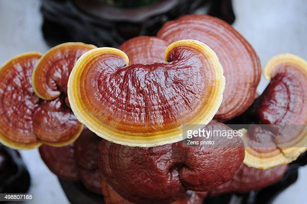 wonders of herbal therapy ganoderma and Reishi mushrooms health benefits, side effects & dosage  in the recently  revised book, herbal medicine: biomolecular and clinical aspects, second  edition (2011)  it is clearly a wonder herb (ie, technically a fungus.